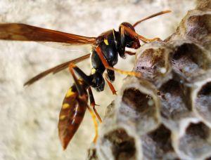708647_wasp_hive_wasp_eggs_2